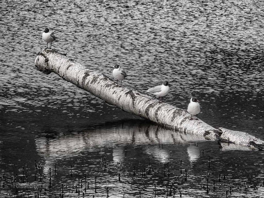 Black-headed gull 2015 01