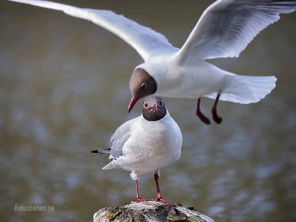 Black-headed gull 2015 02