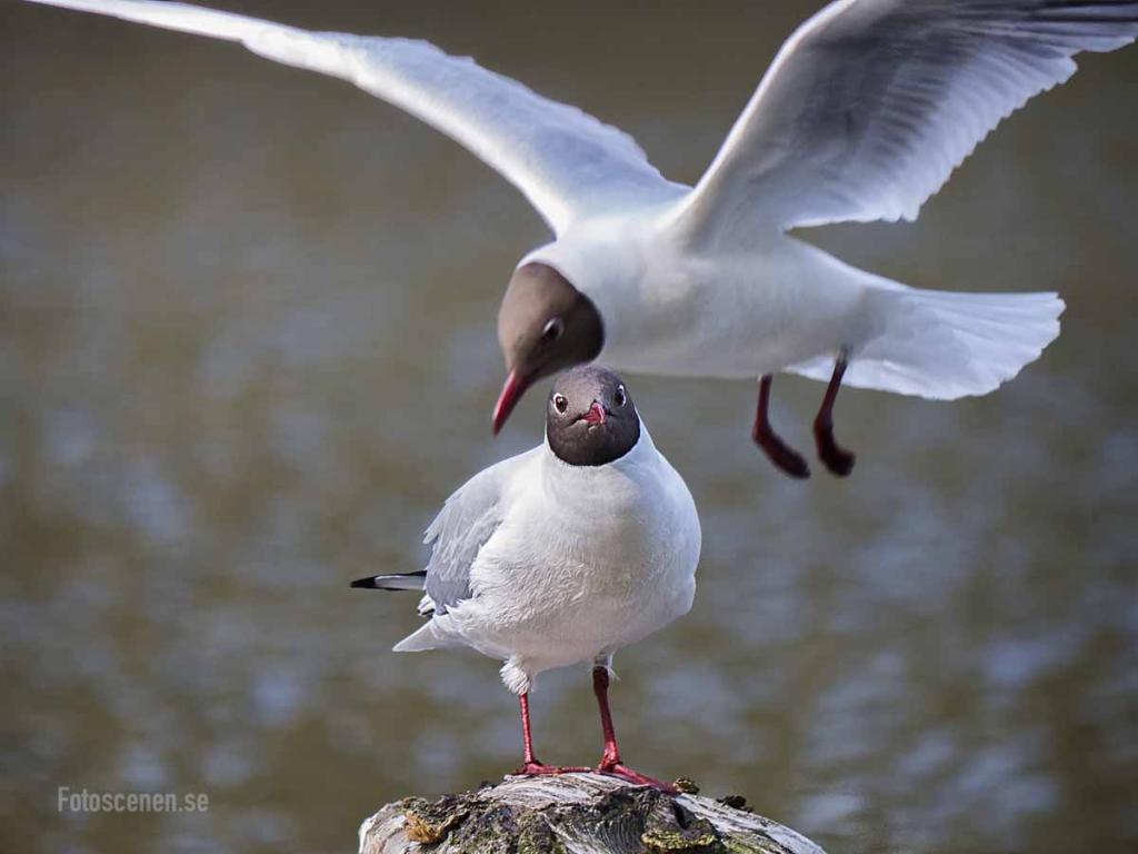 Black-headed gull 2015 02