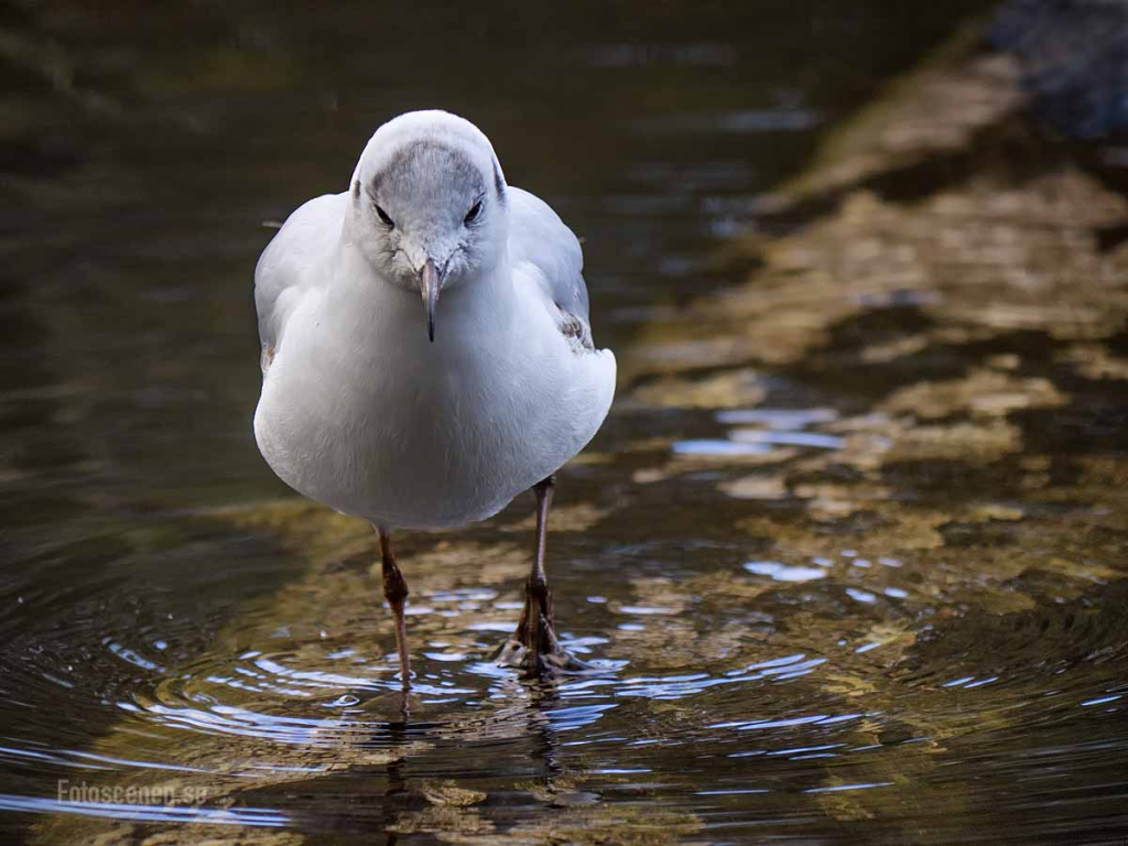 Black-headed gull 2015 03