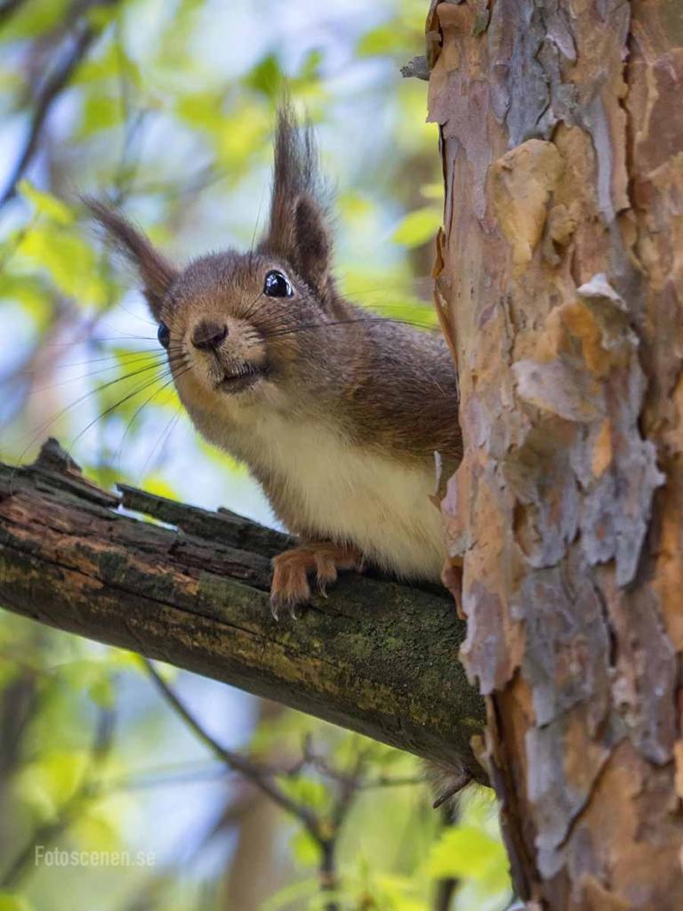 Ekorre Squirrel 2015 01