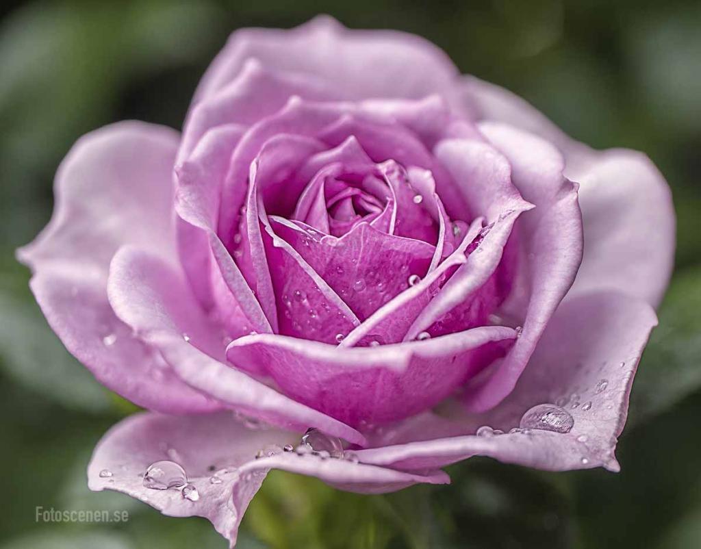 Rose Ros 2015 01
