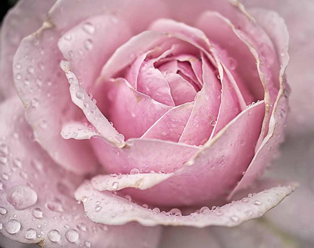 Rose Ros 2015 02