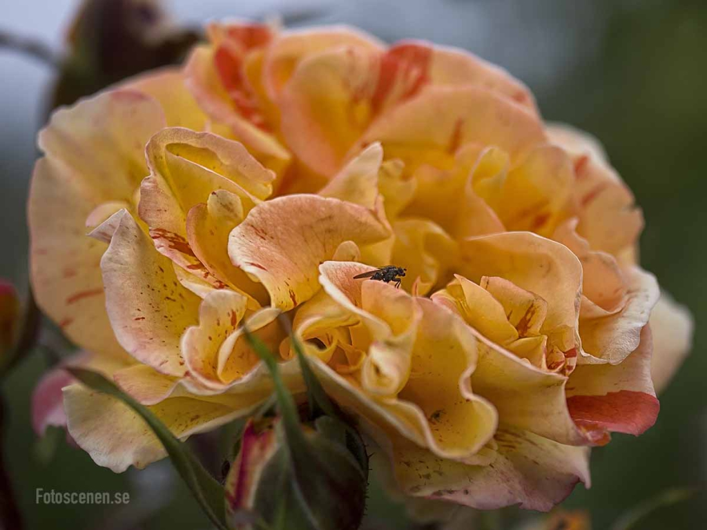 Floribunda Rose Orange and Lemons