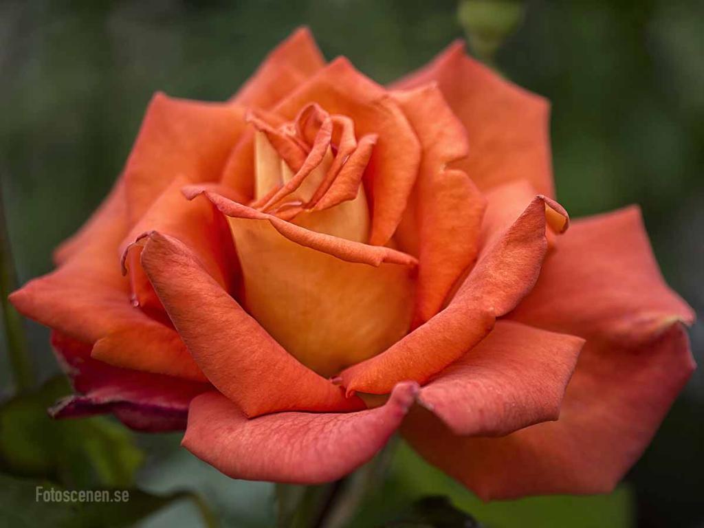 Tehybrid Rose Monica