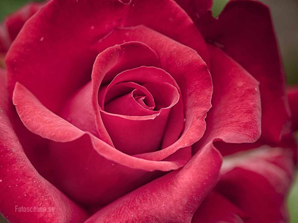 Tehybrid Rose Grande Amore My Valentine