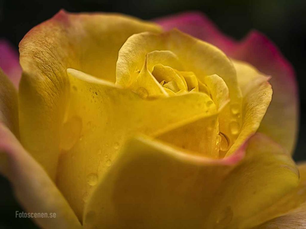 Tehybrid Rose La perla