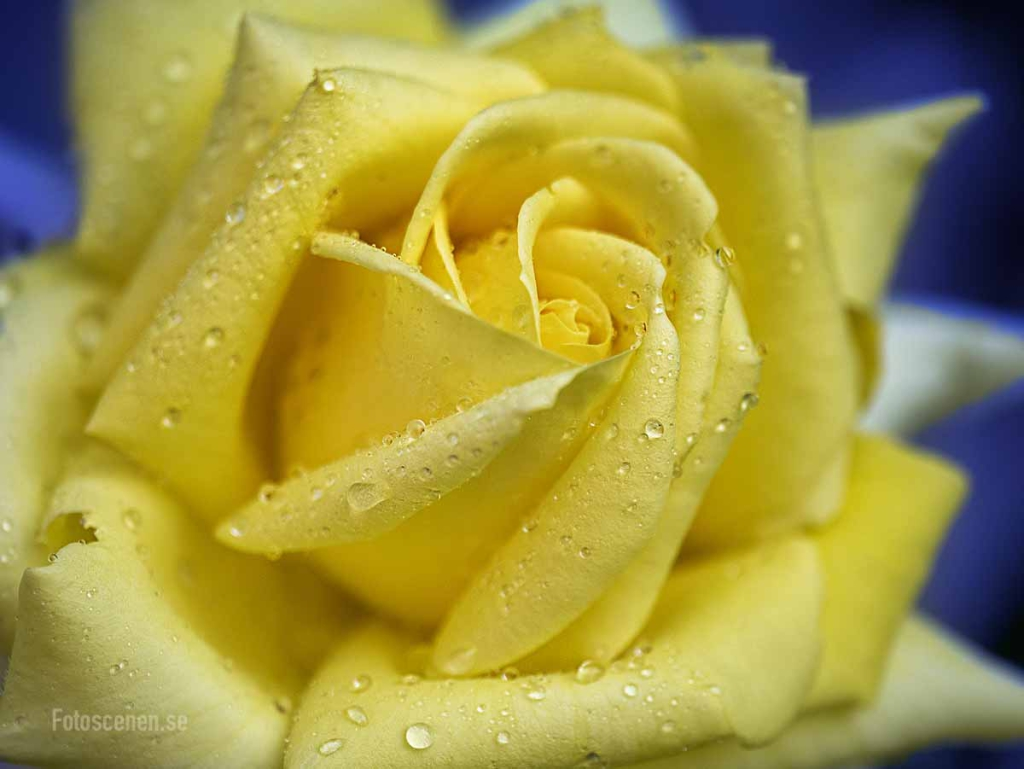 Yellow rose 2015 01