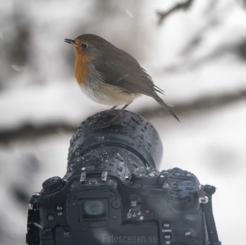 Red Robin on a camera